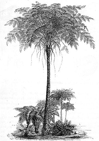Psaronius Pecopteris Illustration
