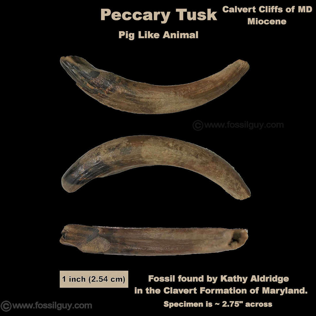 Peccary tusk fossil from the Calvert Cliffs of Maryland