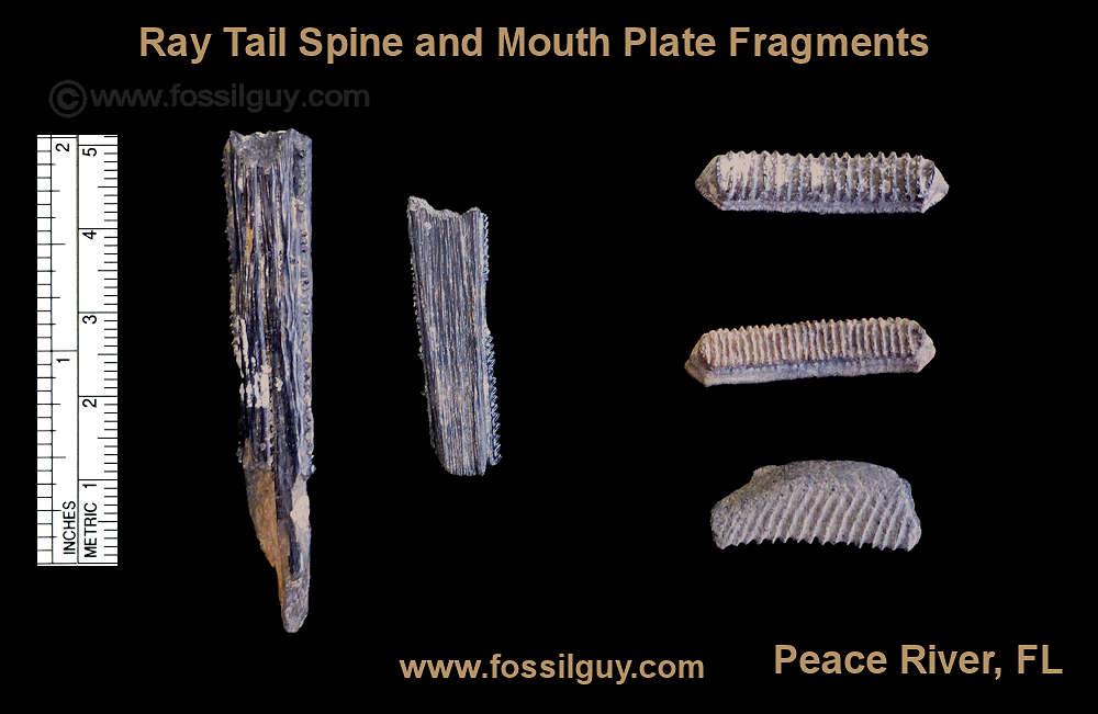 Fossilguy Com Peace River Fossil Identification