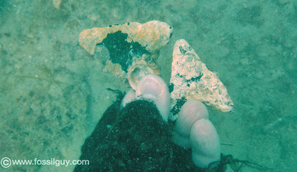 Diving For Fossil Megalodon Teeth In Venice Florida