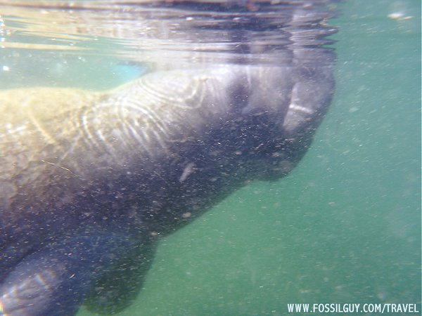 Snorkeling With A Manatee In Crystal River Florida