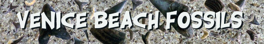Venice Beach Florida Fossil Hunting Guide