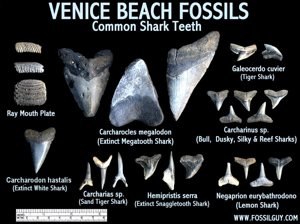 Fossil Shark Teeth Identification Of Venice Beach Florida