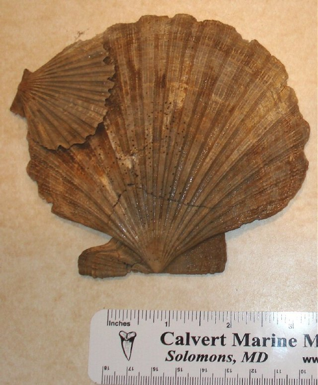 fossil scallop chesepecten neferens shell.