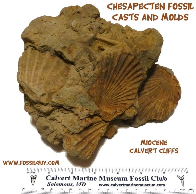 fossil casts and molds of the scallop shell chesapecten from the calvert cliffs of maryland.