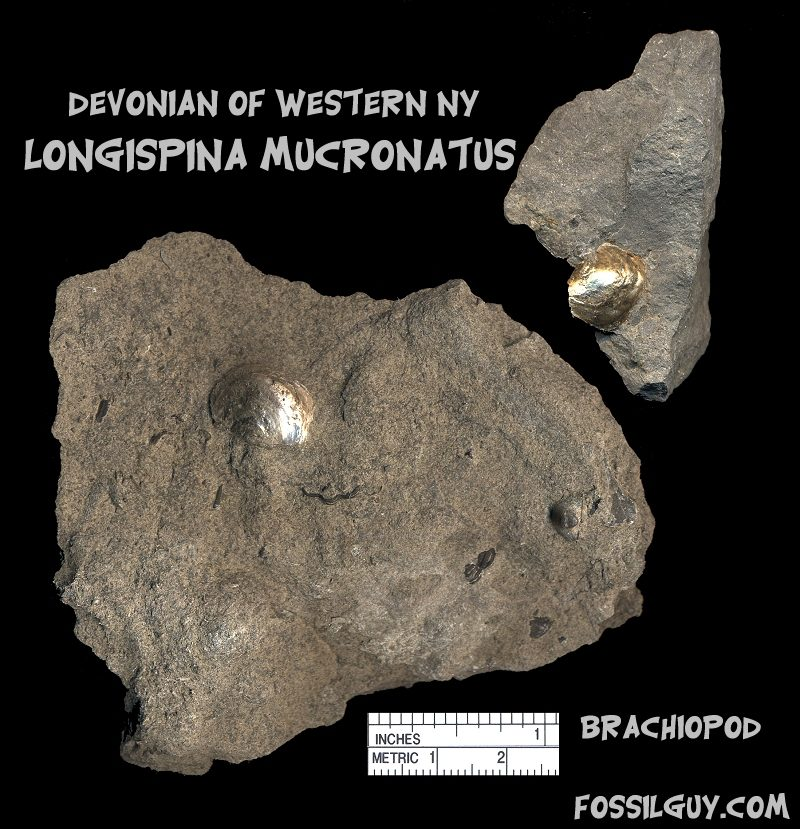 pyritized Devonian fossil shell brachiopod from New York; longispina mucronatus