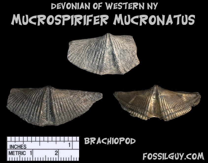 Devonian fossil shell Brachiopod from New York; Mucrospirifer mucronatus