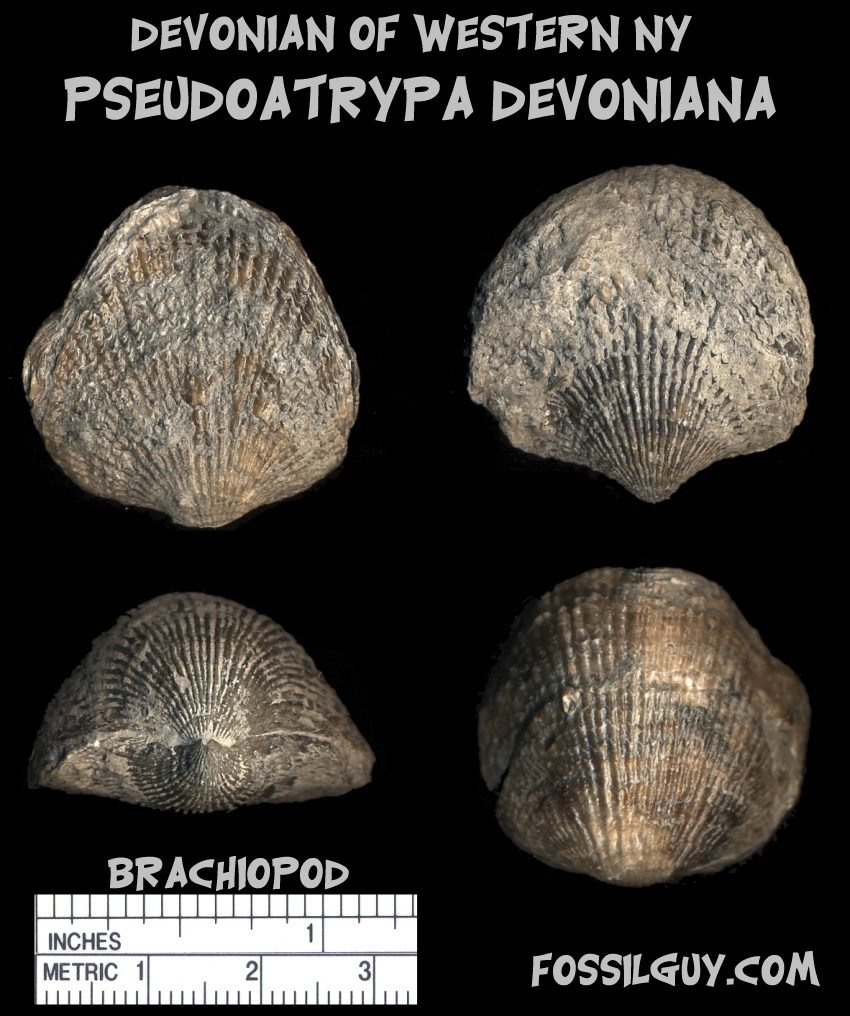Devonian fossil shell brachiopod from New York; pseudoatrypa devoniana