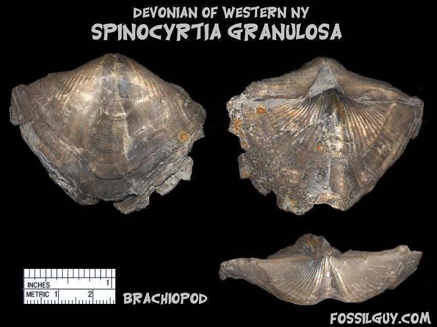 Devonian fossil shell Brachiopod Spinocyrtia Granulosa from New York; Hamilton Group