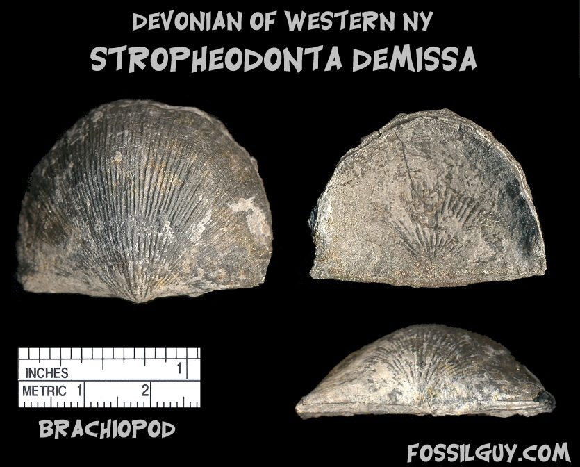Devonian fossil shell brachiopod from New York; stropheodonta demissa