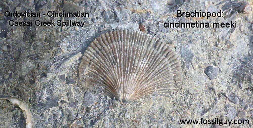 Cincinnetina meeki brachiopod fossil - Caesar Creek