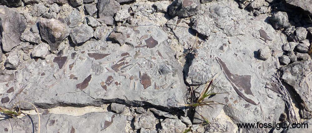 Isotelus Trilobite Fragments