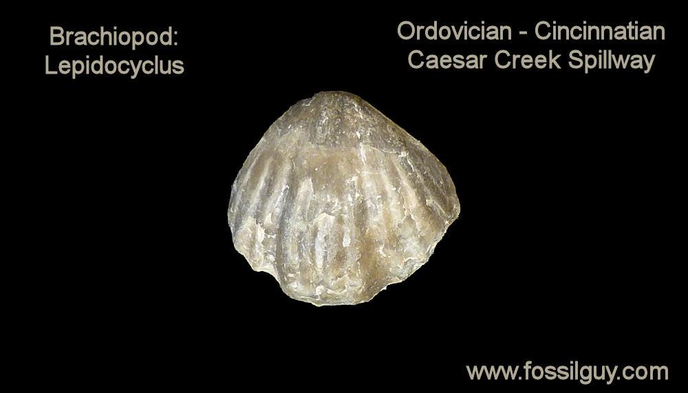 Lepidocyclus Brachiopod Fossil - Caesar Creek
