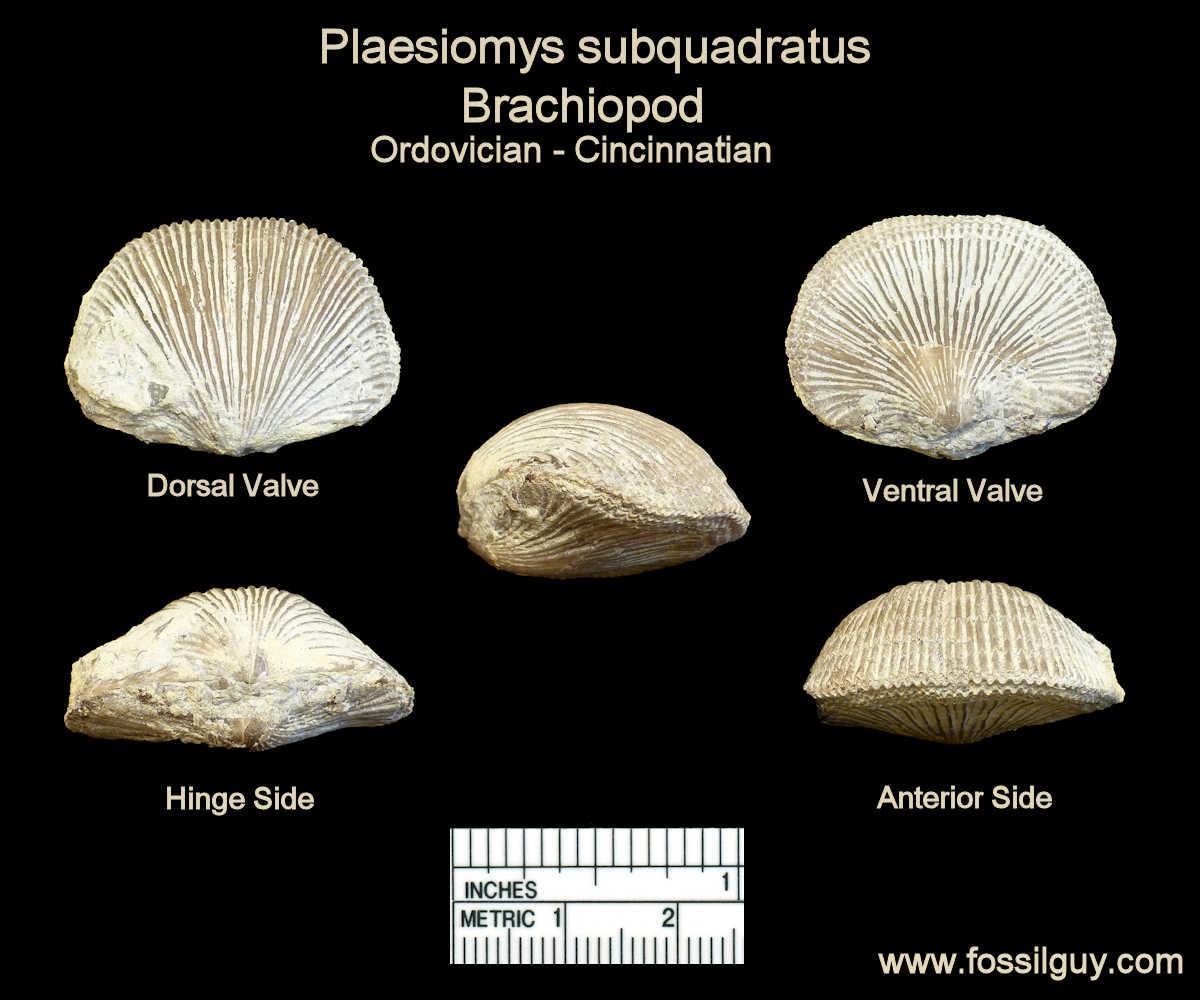 Plaesiomys subquadrata brachiopod fossil - Caesar Creek