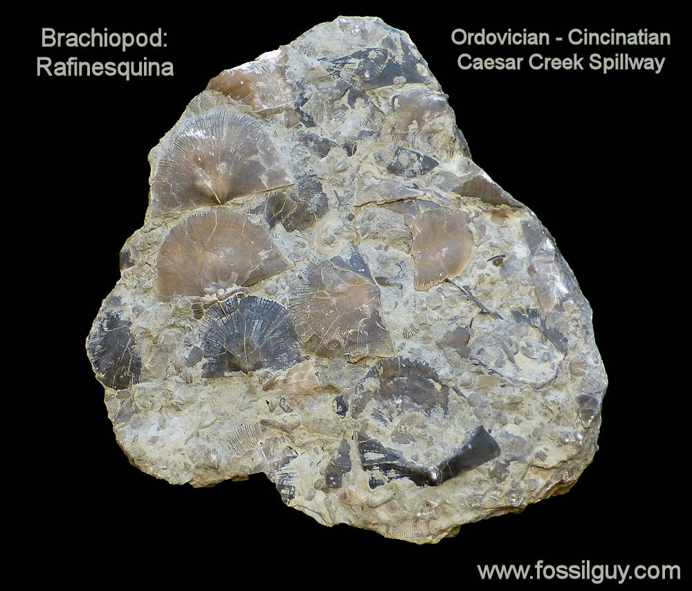 Rafinesquina Brachiopod Fossil - Caesar Creek