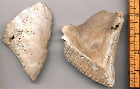 This is a view of a front and back of a single shell from a specimen. This is how they are typically found.