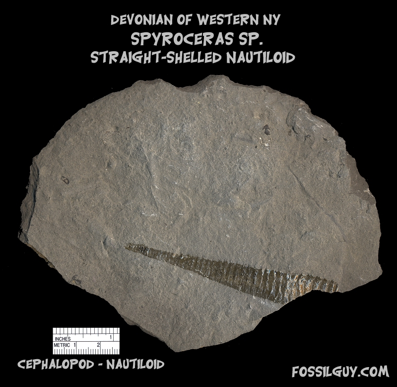 Devonian straight shelled Nautiloid fossil from New York; spyroceras cephalopod