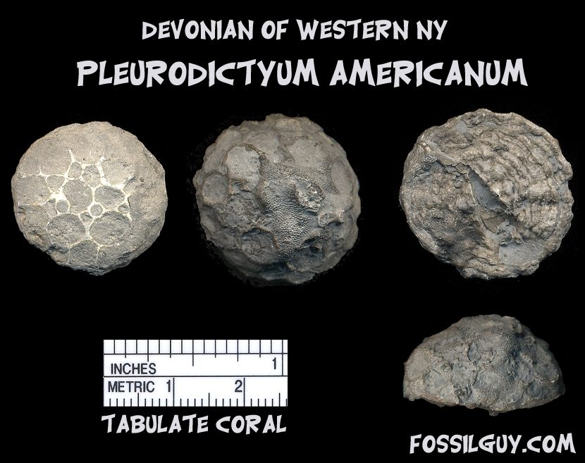 Devonian fossil tabulate coral from New York; pleurodictyum americanum