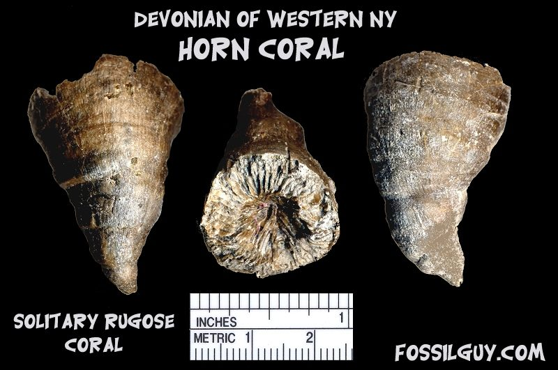 Devonian fossil solitary roguse horn coral from New York