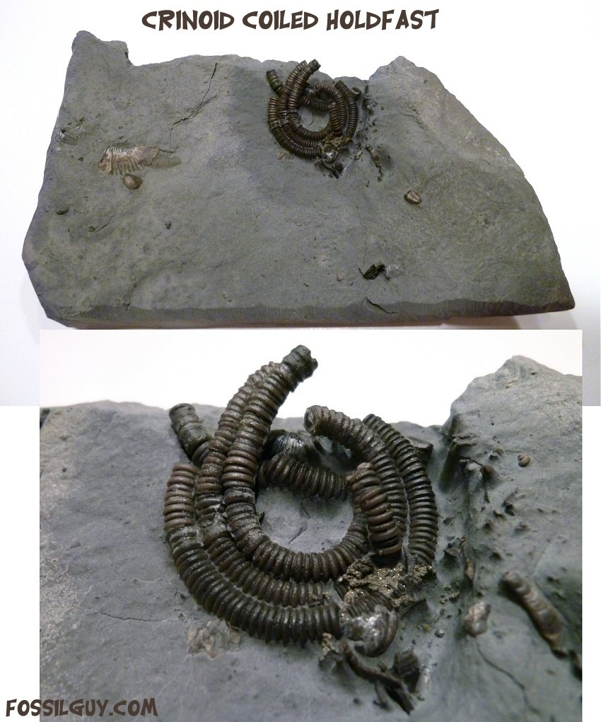 Devonian fossil of a crinoid coiled holdfast from New York