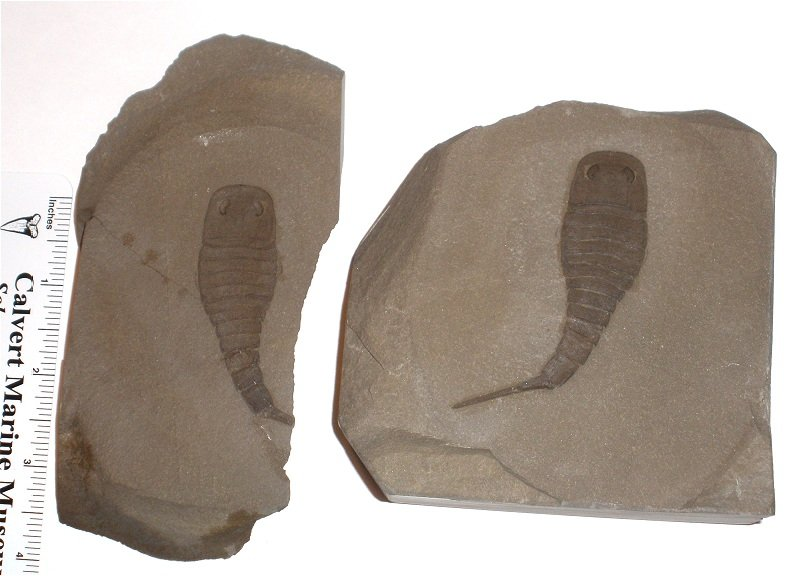 Sea Scorption Fossil - Eurypterid