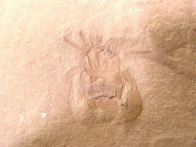 Sea Scorption Fossil - Eurypterid