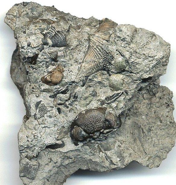 Eldredgops Trilobite