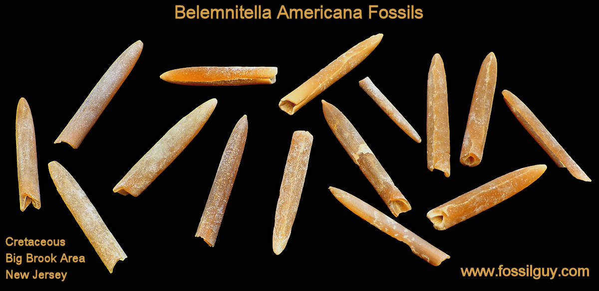 Belemnite Fossils from Big Brook, New Jersey