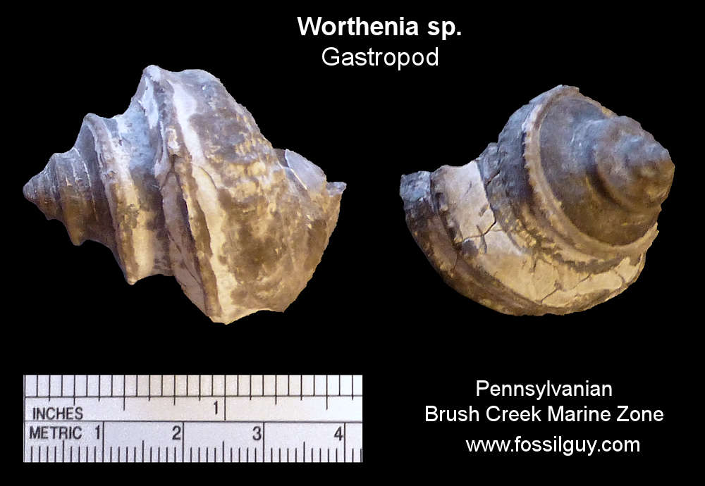 Fossil Worthenia Gastropods from near Pittsburgh.