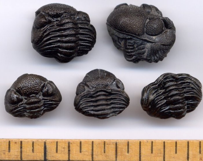 Enrolled Eldredgeops (Phacops) Trilobite fossil from New York.