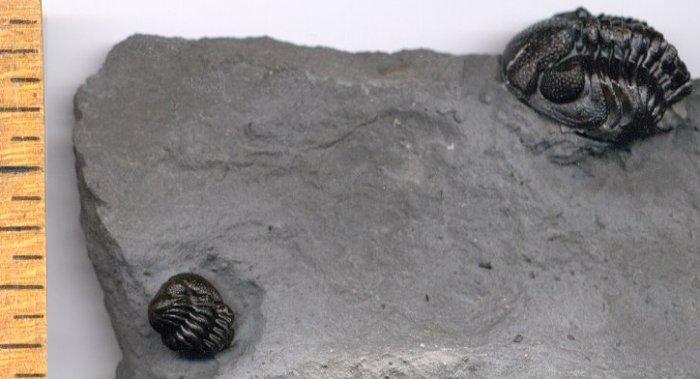 Eldredgeops (Phacops) Trilobite from New York