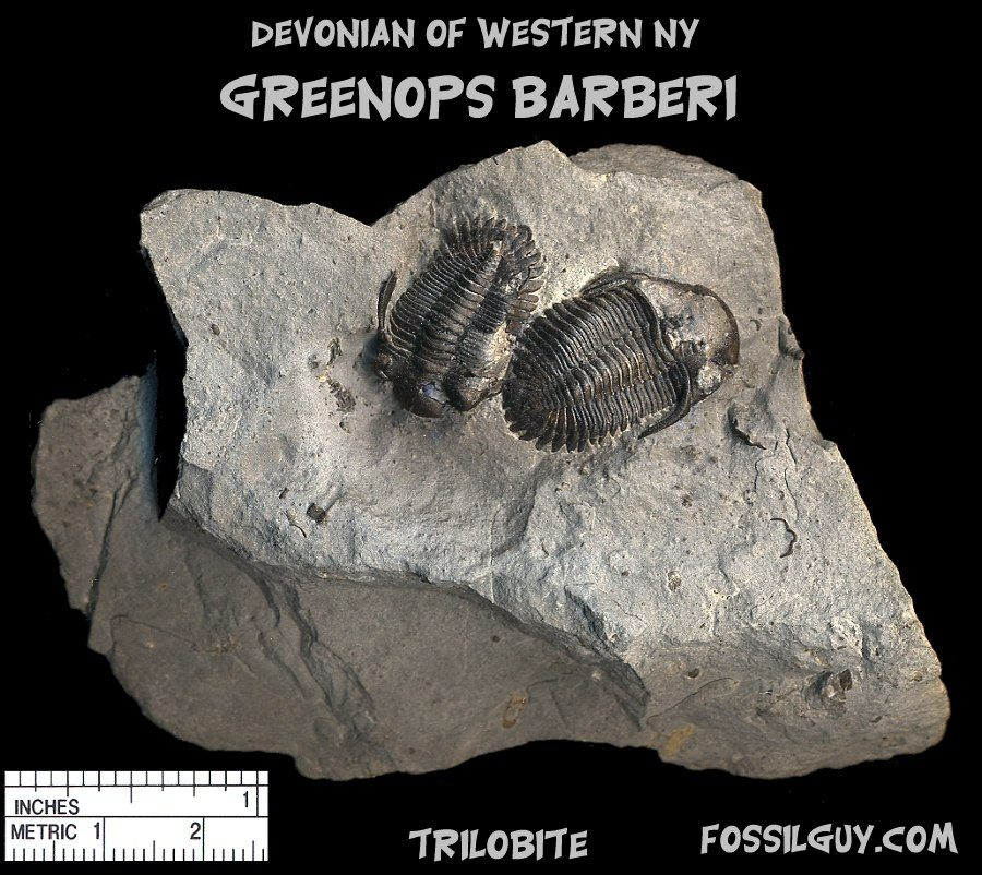 greenops fossil trilobite from the devonian of new york