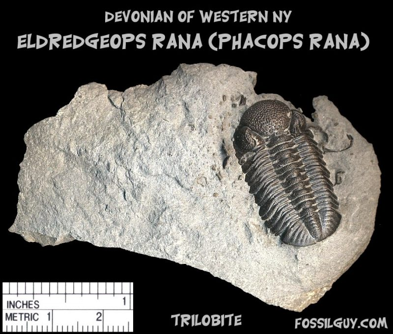 phacops rana trilobite fossil from new york; devonian