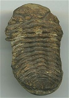 Trilobite, Phacops from West Virginia - Devonian