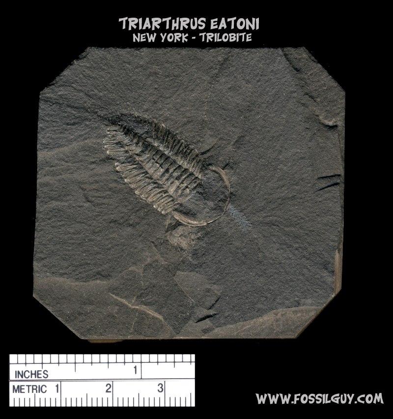 Fossil trilobite: Triarthrus eatoni from New York