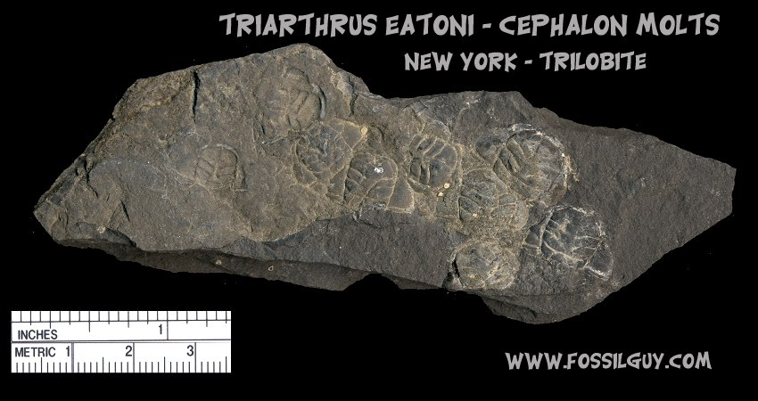 Triarthus molt plate - These are numerous molted Cephalons that accumulated