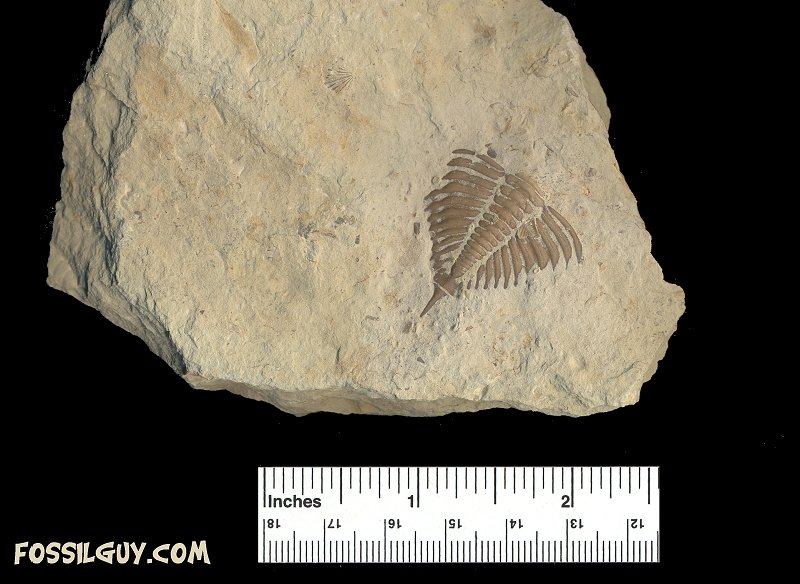 This is a pygidium of a huntonia huntonensis trilobite.  Notice the shorter spine than the lingulifer trilobite fossil.
