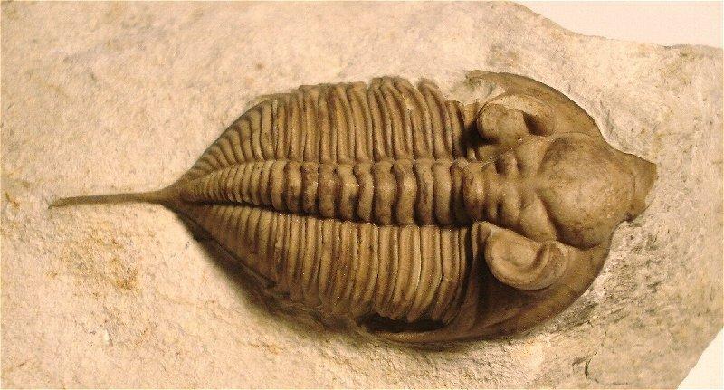 huntonia lingulifer trilobite fossil