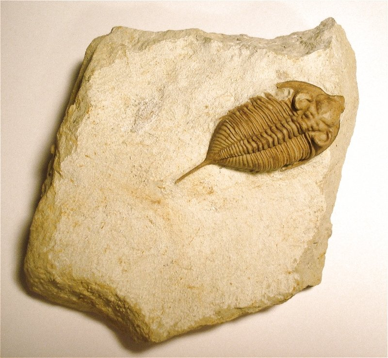 Fully prepped Huntonia trilobite fossil