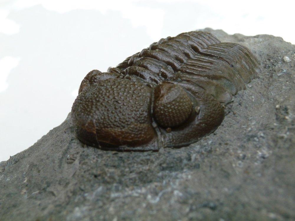 Prone Trilobite Fossil From Ohio - Devonian - Eldredgops / Phacops rana