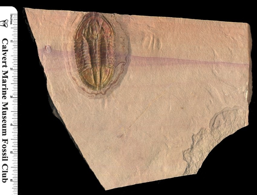 HUGE Asaphiscus Wheeleri Trilobite Fossil