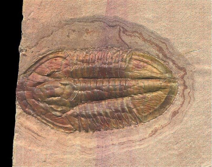 Asaphiscus Wheeleri Trilobite Fossil