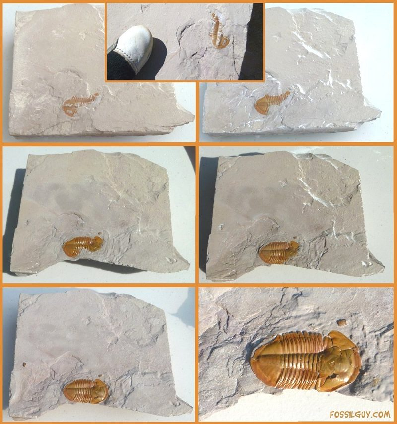 Photos of the preparation of the trilobite