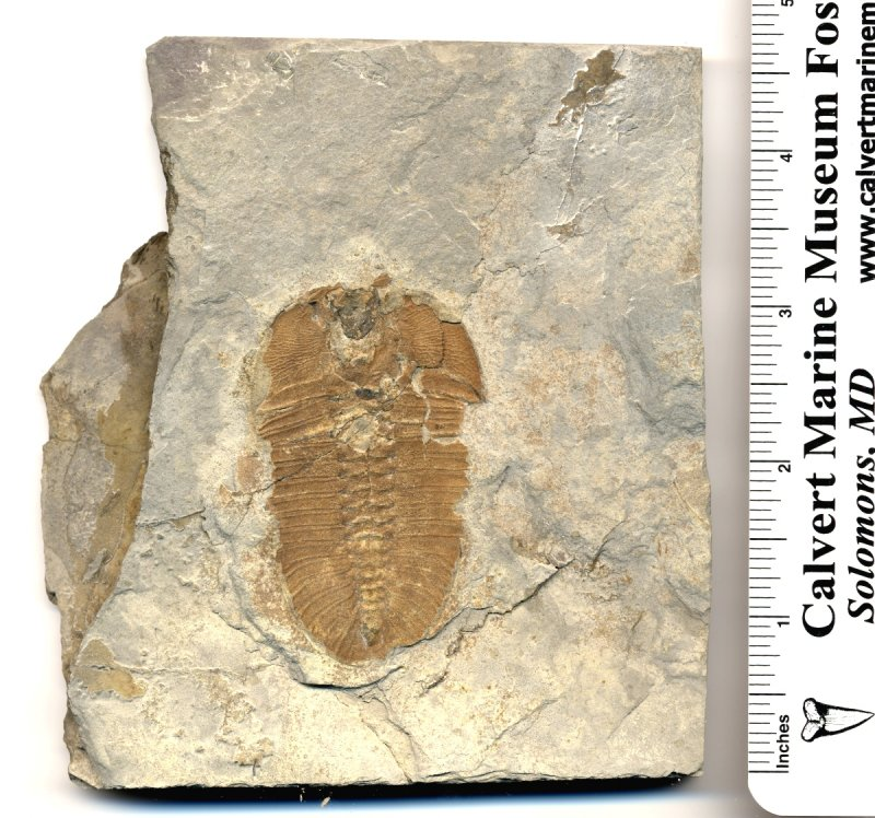 This is a Bathyuriscus fimbriatus trilobite. Ihis 2.5