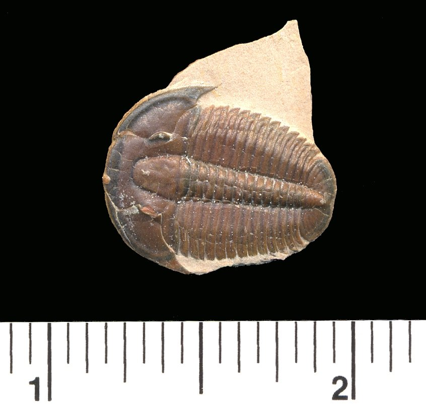 another Elrathia trilobite fossil after being prepped.