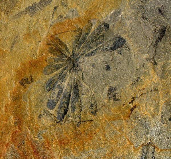 Closeup of the Calamites leaf cluster (annularia).