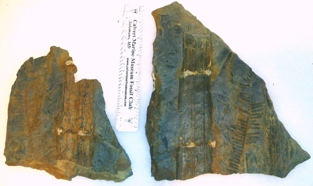 Here is a Calimites stem fragment