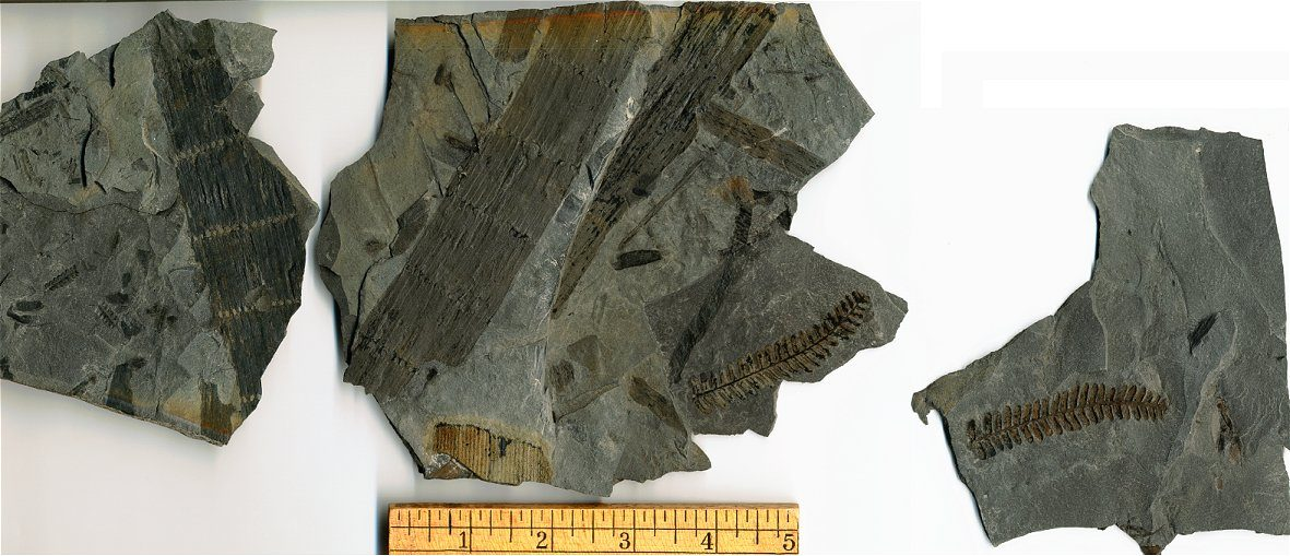 Carbon Film Fossil Calamites Plant Stem from near Pittsburgh.