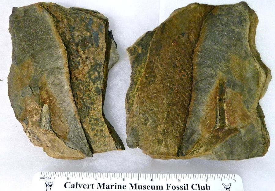 Fossilguy com: Carboniferous Fossil Fern Identification