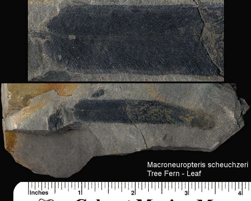 Fossil Macroneuropteris scheuchzeri from near Pittsburgh.
